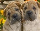 本犬舍特别推荐 肉乎乎憨厚纯种沙皮犬 价格美丽