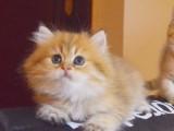 拿破仑猫纯白纯黑乳白橘色蓝白长毛猫幼猫宠物猫