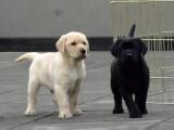陵水出售狗狗 羅威納犬 杜賓犬 杜高犬 卡斯羅犬等