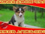 家庭繁殖的柯基犬 双色三色的都有 终身包纯