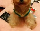 高端气质贵妇人犬,约克夏幼犬出售保健康保纯种疫苗驱
