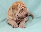 深圳出售纯种沙皮幼犬活体憨厚短腿沙皮犬褶皱斗牛沙皮