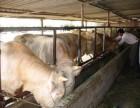 北京忻州肉牛养殖品种欢迎您咨询