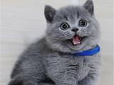新疆乌鲁木齐纯种双血统蓝猫怎么卖
