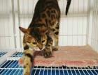 六个月豹猫 母