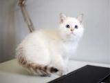 美短 英短 大包子 虎斑條紋 正規貓舍 售后有保障