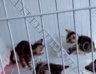 美国短毛猫出售,公母都有。