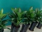佛山专业植物租凭、绿植租摆、出售、花木批发专人维护