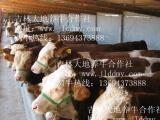 供应优质肉牛犊 西门塔尔牛 育肥牛 架子牛 母牛 改良牛