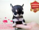 精品繁殖吉娃娃幼犬 可爱温顺乖巧包健康包纯种可自提