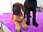 大丹犬价格 大丹犬多少钱 纯种大丹犬多少钱一只