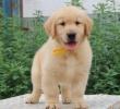 全国连锁店,出售纯种金毛幼犬,签协议,包三保,健康出售