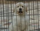 郑州哪里有卖金毛幼犬 郑州金毛出售多少钱