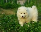 出售微笑天使纯种萨摩耶幼犬 疫苗做齐签订售后协议