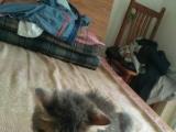 家养的加菲猫,喜欢的可以来看