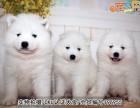 买萨摩耶犬有风险 深圳买狗必选 宠之恋犬舍 正规犬舍