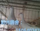 山东菏泽正规观赏鸽养殖场。出售,墨环,芙蓉,金鱼,彩贝,鼓手