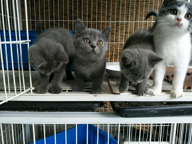 家庭繁育高品质纯种猫 英短美短 看猫方便