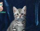 猫舍出售美国短毛猫 品相好 包养活 可签订协议