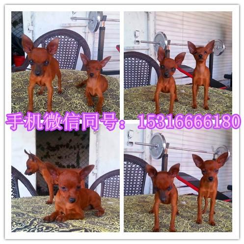 深圳哪里有泰迪卖 博美 蝴蝶犬 比熊吉娃娃 雪纳瑞多少钱价格