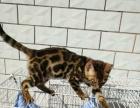72天孟加拉豹猫小母