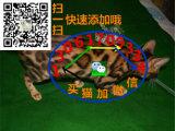 貓舍出售純種健康孟加拉豹 貓可上門挑選全國發貨