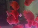 低价转让红鹦鹉鱼