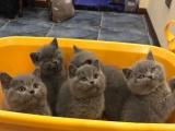 自家繁育的蓝猫宝宝哦(实物拍摄家中看猫)