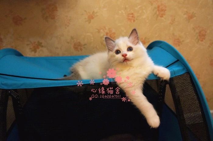 韶关哪里卖布偶猫 布偶猫价格 布偶猫哪里有卖