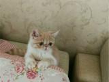 广西桂林纯血净梵加菲猫价格