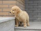 热销纯种大骨架金毛犬 毛量多颜色亮丽品质高