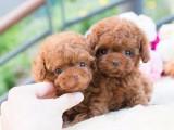 卖泰迪犬 泰迪 重庆出售泰迪犬