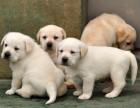 广州纯种拉布拉多犬价格 养狗场在哪里有卖纯种拉多幼犬