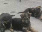 纯种德国牧羊犬 正规犬舍繁育 警犬与警花中的天狼