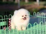 山东青岛纯种博美幼犬价格