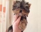 长沙哪里卖约克夏犬幼犬长沙约克夏多少钱一只金头银背约克夏图片