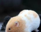 特价金丝熊,仓鼠