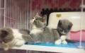 英短蓝白幼猫小猫咪