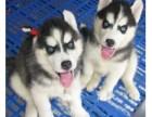 三把火蓝眼二哈哈士奇雪橇犬阿拉斯加幼犬活体宠物狗狗