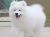 纯种微笑天使萨摩耶幼犬雪白无水锈骨骼粗毛量足