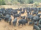 贵州黔南布依族苗族自治州有养藏香猪苗出售的么