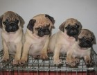 江门哪有巴哥犬卖 江门巴哥犬价格 江门巴哥犬多少钱