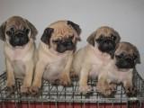 北京哪有巴哥犬卖 北京巴哥犬多少钱 北京巴哥犬图片