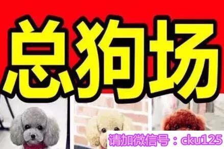 长沙哪里有博美卖 泰迪 柯基 秋田 法牛 柴犬多少钱价格