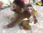 山东省泰安市哪里有卖袖珍石猴宠物猴