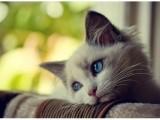 蕪湖雙血統 布偶貓