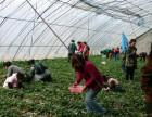 草莓采摘基地
