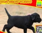 正规养殖场出售高品质 拉拉犬签协议 包健康可送货