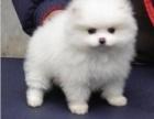出售纯种血统大头金毛幼犬高品质公母均有品质第一