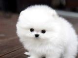 成都哪里有卖博美幼犬成都哪里能买到博美幼犬多少钱成都哪里有宠